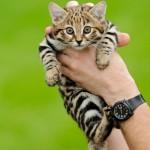 【画像有り】世界最小の猫「クロアシネコ」の赤ちゃんがとんでもなく可愛い!